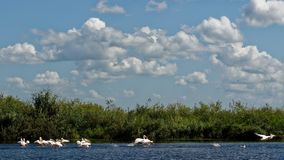 Pelicanos no delta de Danúbio imagens de stock royalty free