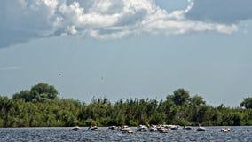 Pelicanos no delta de Danúbio imagens de stock