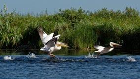 Pelicanos no delta de Danúbio foto de stock