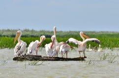 Pelicanos no delta de Danúbio Imagem de Stock
