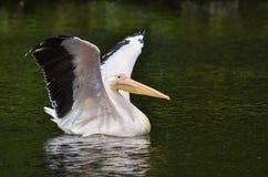 Pelicanos no delta de Danúbio, Romênia Fotos de Stock