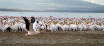 Pelicanos no lago Nakuru Imagens de Stock