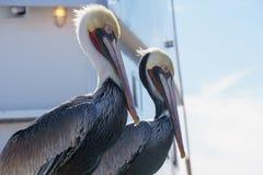 Pelicanos no perfil Imagem de Stock