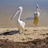 Pelicanos no rio Foto de Stock