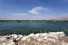 Pelicanos - parque nacional de Reserva Nacional de Paracas em AIC Peru, Ámérica do Sul foto de stock