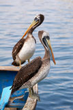 Pelicanos peruanos Foto de Stock Royalty Free