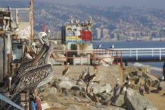 Pelicanos peruanos, Valparaiso, o Chile Imagens de Stock Royalty Free