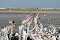 Pelicanos que comem peixes Imagens de Stock Royalty Free