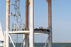 Pelicanos que descansam em uma estrutura no oceano Fotos de Stock Royalty Free
