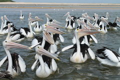 Abra pelicanos Mouthed Fotografia de Stock Royalty Free
