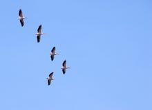 Pelicanos que migram Imagens de Stock Royalty Free