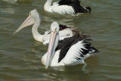 Pelicanos que nadam Imagens de Stock Royalty Free