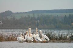 Pelicanos que preparam na costa do lago do verão Imagem de Stock
