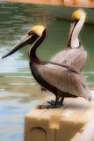 Pelicanos que relaxam Imagem de Stock Royalty Free