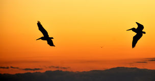 Pelicanos que voam de encontro ao por do sol da tarde imagens de stock royalty free