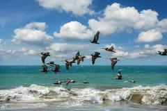 Pelicanos que voam na formação sobre o oceano Foto de Stock