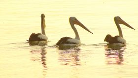 pelicans stock afbeeldingen