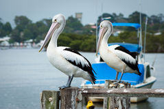 Pelicans. Australian Pelicans (Pelecanus conspicillatus) perched on a pier royalty free stock photo