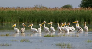Pelicans Stock Photography
