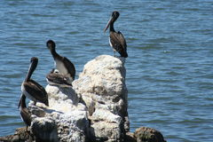 Pelicans. Siiting on the rock chilean coastline Royalty Free Stock Photos