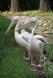 Pelicans. From Warsaw Zoological Garden looking at visitors Stock Photos