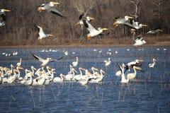 pelicans stock fotografie