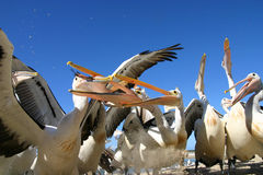 Pelicans. Fighting over food on the shore, gold coast australia stock photo