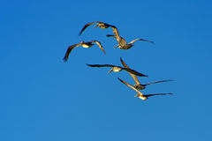 Pelicans. A flock of brown pelicans flying against a blue sky Royalty Free Stock Image