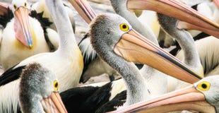 pelicans royalty-vrije stock foto