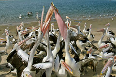 Pelicans. Australian pelicans fighting over food thrown to the on the seashore stock photos