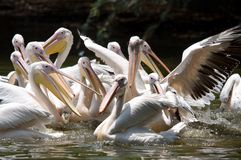 Pelicans. Rosy pelicans /pelecanus onocrotalus are purely acquatic and gather to feed together Royalty Free Stock Photography