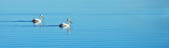 Pelicans. Photo of pelicans at Salton Sea, California Royalty Free Stock Photos