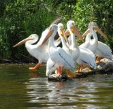 Pelicans. A group of pelicans grooming themselves on a lake in northern alberta Stock Images