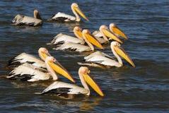 Pelicans. A group of pelicans in Djoudj park, Senegal royalty free stock photo