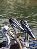 Pelicans. Four Pelicans Facing To The Right stock image