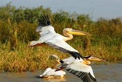 Pelicans. A group of pelicans in Djoudj park, Senegal royalty free stock photos