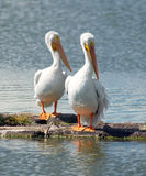 Pelicans Pair Standing Lake Klamath Oregon Royalty Free Stock Photos