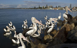Pelicans. On the breakwater at Tuncurry,NSW,Australia royalty free stock image