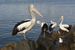 Pelicans. On the breakwater at forster tuncurry, NSW, Australia stock image