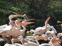 Pelicans. Waiting to be fed Royalty Free Stock Photography