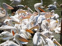 Pelicans. Waiting to be fed Stock Image