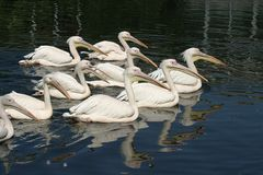 Pelicans. Great white pelicans Stock Photos