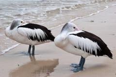 Pelicans. A pair of pelicans hiding their beaks standing on seashore Royalty Free Stock Images
