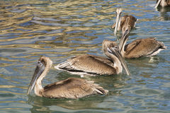 Pelicans. Floating in the water stock photo