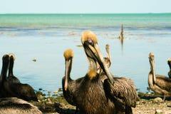 Pelicans. A pod of pelicans in Key Largo, Florida Stock Images