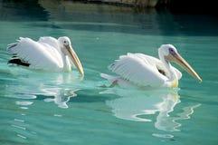 Pelicans. Pair of pelicans patrolling in valencia oceanografic Royalty Free Stock Photo