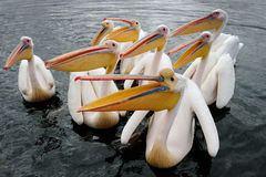 Pelicans. Group of Great White Pelicans in water stock photos