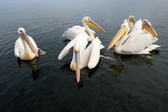 Pelicans. Group of Great White Pelicans in water Royalty Free Stock Photo