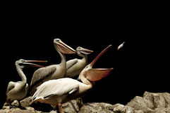 Pelicans. A group of pelicans feeding on fish royalty free stock photography