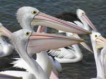 Pelicans. Two pelicans in a group looking in the some direction waiting for food Stock Images